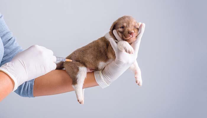 Simptomele Parvovirozei La Câini