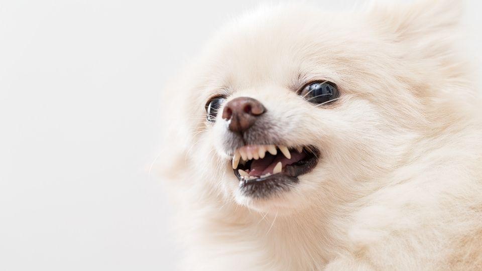 De Ce Devin Câinii Agresivi?