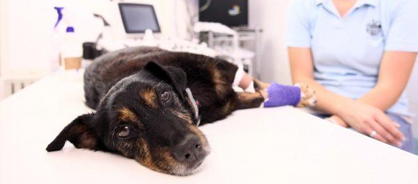 Care Sunt Simptomele Ascitei La Câini?