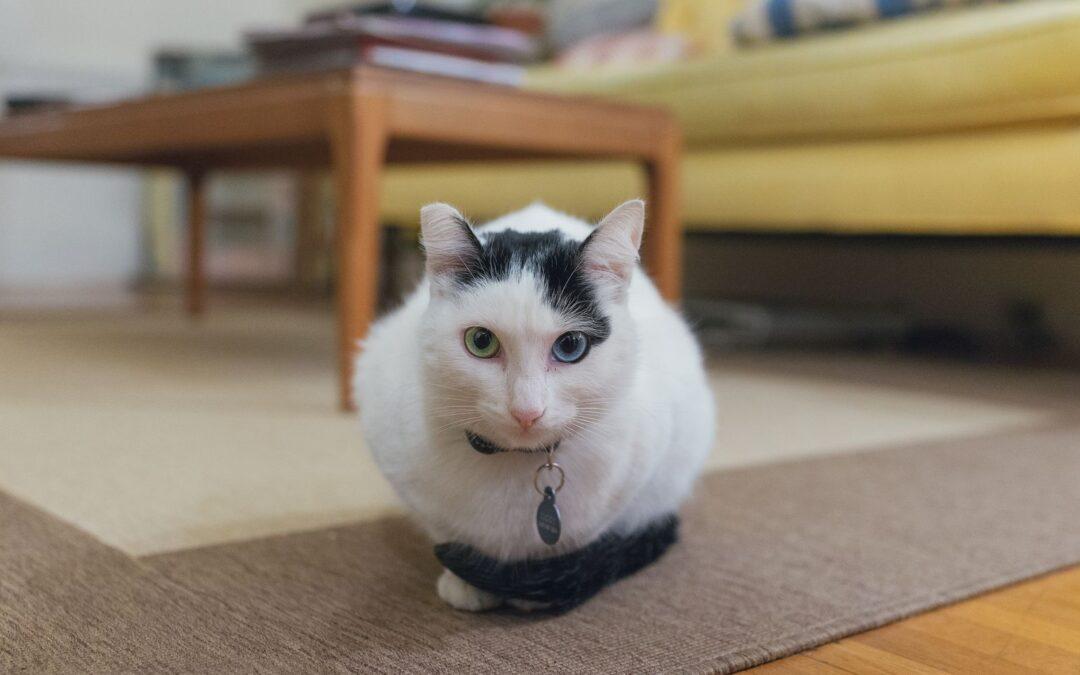 Ce Faci Când Pisica Suferă De Infecții Urinare Recurente?