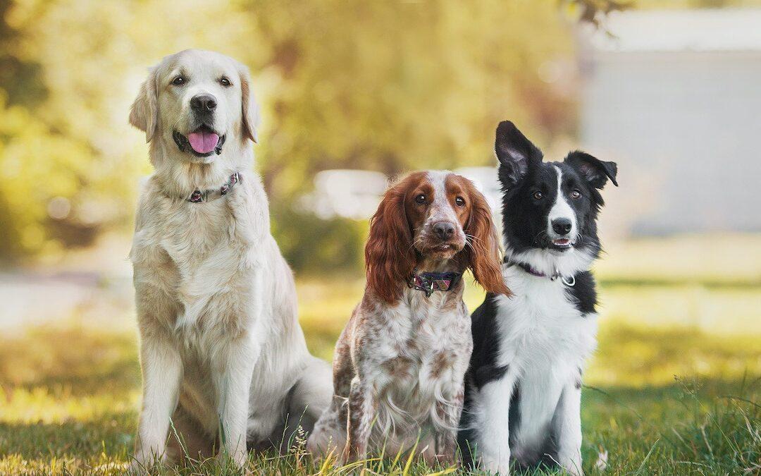 7 Rase De Câini Predispuse La Boli Dentare