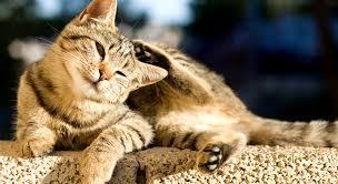 Ce este dermatita auriculară la pisici?