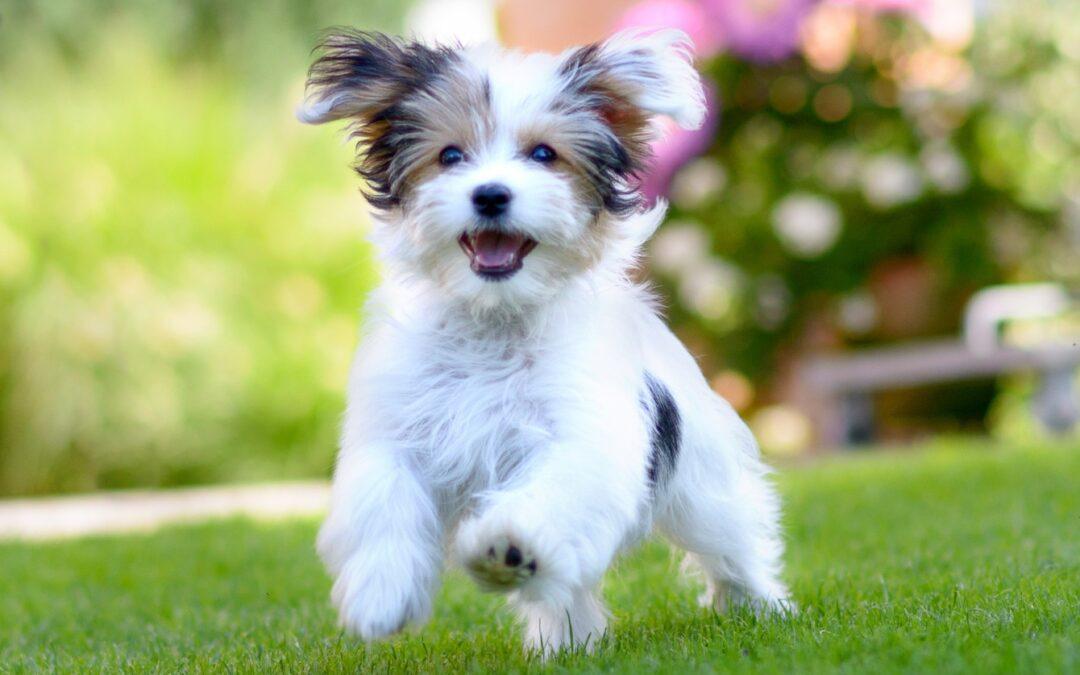 Ce este umflarea testiculară la câini?